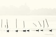 Ente-Stock-mallard-duck-Fisch-Reusen-Stange-vogel-bird-silhouette-Minimalismus-minimalistisch-minimalistic-black-white-schwarz-weiss-A_NIK6268-sw