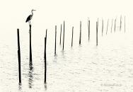 Grau-Reiher-heron-gray-grey-Fisch-Reusen-Stange-vogel-bird-silhouette-Minimalismus-minimalistisch-minimalistic-black-white-schwarz-weiss-A_NIK8379sw-2