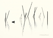 Haubentaucher-Grebes-Fisch-Reusen-Stange-vogel-bird-silhouette-Minimalismus-minimalistisch-minimalistic-black-white-schwarz-weiss-A_NIK5999-sw
