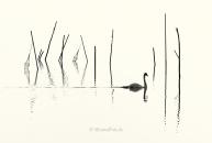 Schwan-Höcker-mute-swan-Fisch-Reusen-Stange-vogel-bird-silhouette-Minimalismus-minimalistisch-minimalistic-black-white-schwarz-weiss-A_NIK6024a-sw
