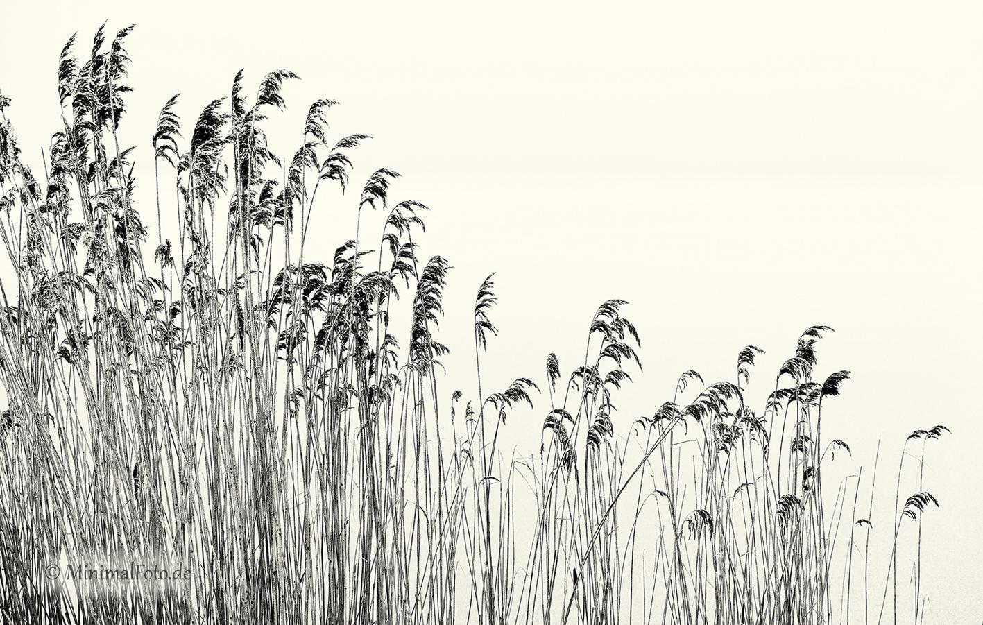 Schilf-reed-roehricht-winter-Minimalismus-minimalistisch-minimalistic-black-white-schwarz-weiss-B_SAM0467-sw